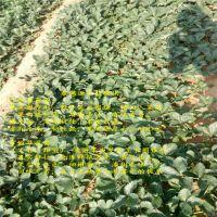 法兰地草莓苗书籍
