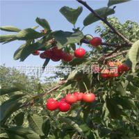 早大果樱桃苗价格 产地直供樱桃树苗品种介绍