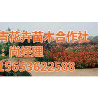 园林绿化苗木分类、园林绿化苗木、芳青花卉苗