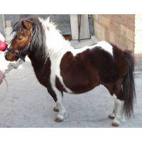 常年出售观赏矮马 进口矮马 设特兰矮马