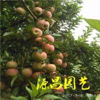 靖西红富士苹果苗 建园采摘 理想选择 泰安源昌苗圃批发