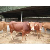 鲁西黄牛肉牛养殖肉牛