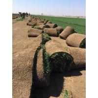 CS哈尔滨草坪种植#哈尔滨草坪种植批发#哈尔滨草坪种植批发基地