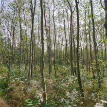 供应中药材种苗树苗杜仲苗园林绿化新时代农村脱贫发展致富环境美化