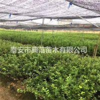 莱克西蓝莓苗 莱克西蓝莓苗价格 植株健壮成活率高