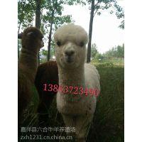 进口神兽羊驼 观赏羊驼价格 六合养殖场批发