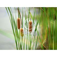 供应香蒲,专业水生植物种植,香蒲苗,白洋淀水生植物基地