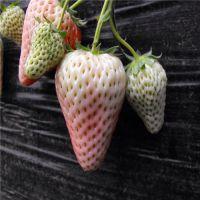 批发红颜草莓苗 四季草莓苗 成活率99% 单果重70g 适合南北方种植 高产易成活 成苗
