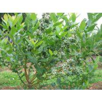 供应薄雾蓝莓苗1-4年