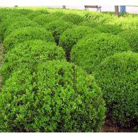 山东瓜子黄杨杯苗价格瓜子黄杨基地批发采购园林绿化常用苗木瓜子黄杨