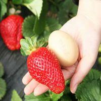 菠萝蜜草莓苗直销,赛娃草莓苗供应