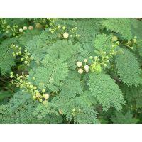 四川三水园林银合欢种子批发价格护坡灌木种子的选择