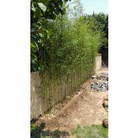 批发绿化竹苗供应直径1-5cm早园竹 耐寒性强 对土要求不严 喜光耐阴