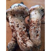 云南特产云上猿野生菌鲜品松茸菌产地批发一公斤起批
