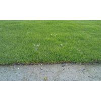 混播草坪 台湾二号草坪批发基地 草花地被批发价格