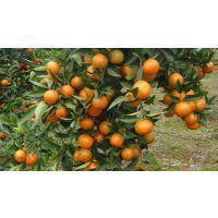 大雅柑 柑橘苗 柑桔 果苗 种植苗