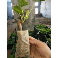 营养袋葡萄苗,营养袋葡萄苗价格