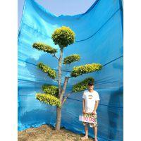 造型树苗木/景观造型树/庭院景观树/大型风景树/绿化树木/室内景观树/造型金叶榆