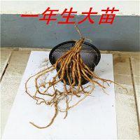 供应进口优质芦笋种苗 芦笋种子 批发芦笋苗 保健蔬菜种苗1年种苗