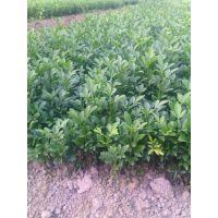 广西沙糖桔树苗价格|广西沙糖桔树苗多少钱一棵|广西沙糖桔树苗基地