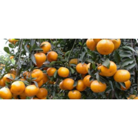 脆蜜金柑苗价格【那里有大棚脆蜜金柑苗卖?】大量批发脆蜜金柑苗