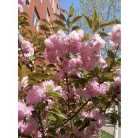 樱花色鲜艳亮丽,枝叶繁茂旺盛,是早春重要的观花树种,常用于园林观赏、
