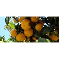 梧州大量购买黄金柑苗_梧州哪里有黄金柑苗购买_梧州黄金柑苗基地