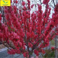 供应8公分红叶碧桃 5 6公分碧桃 优质绿化用树 规格齐全 欢迎选购
