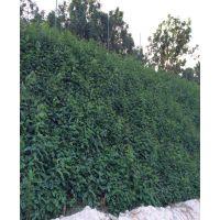重庆四川绿化播种哪些常见灌木种子