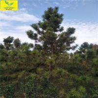 油松批发供应 株高1.5米 直径20公分 绿化用树 风景树 规格齐全 欢迎来电咨询