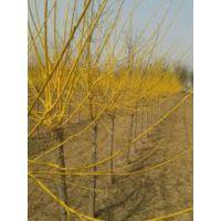 金枝槐由我国传统国槐与美洲金边黄槐,双荚槐杂交育种而成,为落叶小乔木或灌木状。株高3-4米,小叶5-