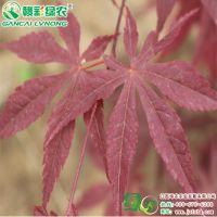 批发日本红枫古铜枫 三季观叶 园林绿化工程树 1-10公分地径
