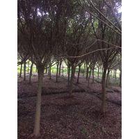 红皮榕(小皮榕)大量供应,园林风景树,自产自销