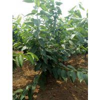 樱桃树|泰肥农场|樱桃树几年结果