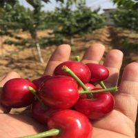 山东基地直销樱桃树苗 1公分2 3 4 5公分品种果树苗 丰产性高 易成活 美早樱桃苗哪里买