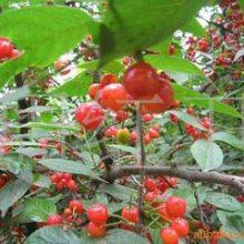 俄罗斯8号樱桃苗1-10公分 俄罗斯8号樱桃苗哪里有
