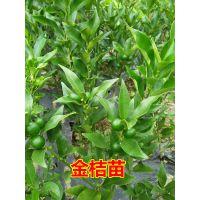 金桔苗 根系发达 成活率高 金柑苗一年结两次果 脆皮金桔苗果树苗当年挂果
