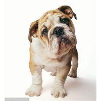 荔城区名犬多少钱,荔城区名犬在哪,荔城区名犬有哪些,小露供