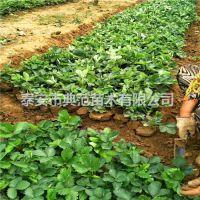 枥乙女草莓苗价格 枥乙女草莓苗 现挖现卖产地批发