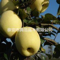 瑞雪苹果苗价格 瑞雪苹果树苗品种介绍 产地直供