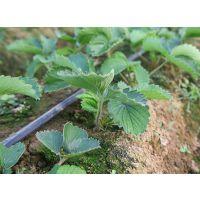 山东草莓苗价格,草莓苗供应基地,草莓苗什么品种产量高,什么品种草莓苗好成活?