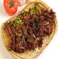 供应红油香椿苗,优质香椿苗价格,自家产地,原产地直供,山东红油香椿基地