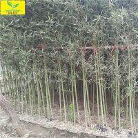 出售竹子苗 0.5公分1公分竹子苗 2米2.5米高 庭院绿化植物