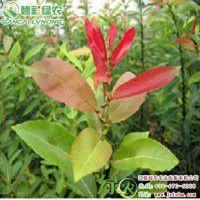 批发红叶柳 一年两年 盆栽地栽 灌木类植物 红叶柳报价 红叶柳图片