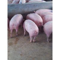 鄂美猪种改良公司(PIC)五元杂交母猪C22产仔率更高,发情更明显,奶水品质更高