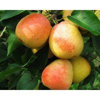 秋月梨苗品种 哪里有卖的