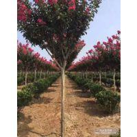 2018年地径6公分紫薇百日红价格多少钱一棵风景树紫薇小苗基地