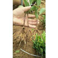 山东吉塞拉6号樱桃砧木苗 吉塞拉12号樱桃砧木 矮化砧木品种树苗批发价格