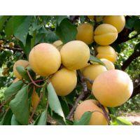 壹棵树农业 珍珠油杏供应 珍珠油杏价格