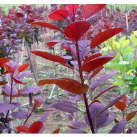 供应红叶石楠常绿灌木